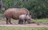 Nashornmutter mit Kind
