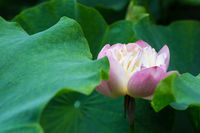 pink buddha lotus flower closeup