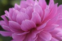 Die Farbe Pink