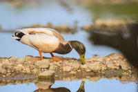 Wild duck swimming in water