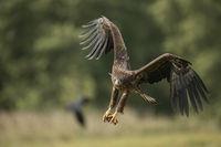 frontaler Anflug... Seeadler *Haliaeetus albicilla*