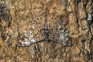 Schmetterling einer Hamadryas Art mit Schutzfärbung