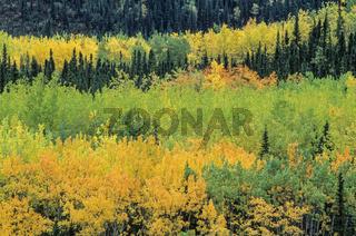 Zitterpappeln im Herbst in einem Tal / Denali Nationalpark  -  Alaska