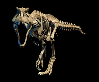 T-Rex photo-realistic full skeleton. Front view.