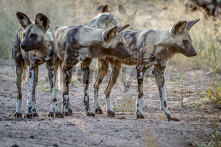 African wild dogs starring around.