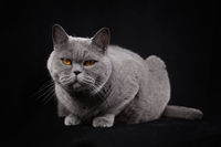 Gray silvery shorthair British cat lying on a black background