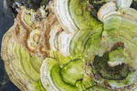tinder fungus closeup