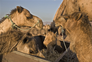 Camels feed