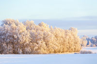 Birch forest with hoarfrost in a wintry rural landscape