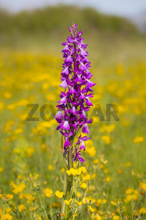 Robustes Knabenkraut, Orchis palustris ssp. robusta, Orchis robusta