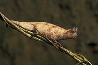 Brown leaf chameleon (Brookesia superciliaris), Andasibe Nationalpark, Madagaskar