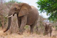 Elefantenmama mit Nachwuchs im Kruger Nationalpark Südafrika; elephant and a baby