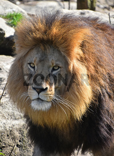 Close up portrait of lion looking at camera