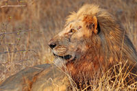 Löwe im warmen Nachmittagslicht, Südafrika, lion in the warm light of the day, South Africa