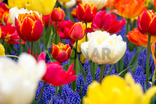 Beautiful field of colorful tulips in park.