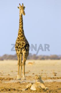 Loewin (Panthera leo) mit Giraffe (Giraffa camelopardalis) Nxai Pan, Makgadikgadi Pans National Park, Botswana, Afrika, Lioness with Giraffe, Africa