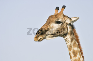 Giraffe, Giraffa camelopardalis, im Etosha Nationalpark, Namibia, Afrika, Giraffe, Etosha National Park, Namibia, Africa