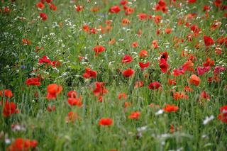 Mohnblumen in Blumenwiese