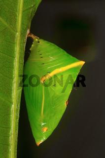 Butterfly pupa, Aarey Milk Colony
