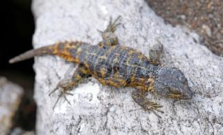 Kap-Gürtelschweif, Südafrika, cordylus cordylus, Cape girdled lizard, South Africa