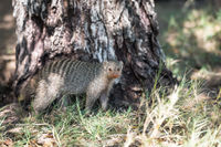A striped mongoose is standing on a green grass near a tree