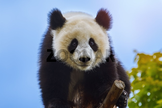 Giant Panda at the Tree
