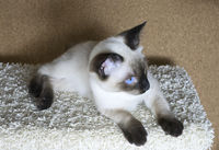 kitten (Siamese type