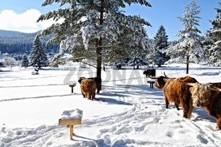 Schottische Hochlandrinder mit Buddha im Winter in Herrenwies Schwarzwald.jpg
