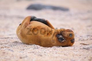 Young Galapagos sea lion lying on the beach on North Seymour Island, Galapagos National Park, Ecuador