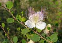 Flower and buds capers