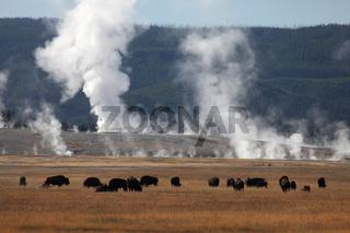 Bisons vor heissen Quellen im Yellowstone Park