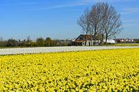 Anbau von gelben Narzissen bei Noordwijkerhout, Niederlande