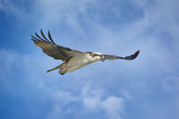 Osprey on the Hunt in Florida, USA