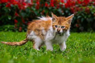 Orange kitten cat sitting in grass