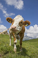 Kuh auf Bergwiese in Tirol