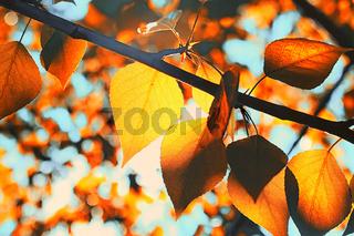 Orange autumn leaves of trees on clear blue sky