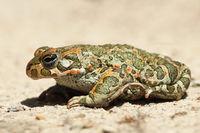 profile image of european common green toad ( Bufotes viridis )