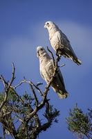 Couple of Little Corellas sitting on a branch against a blue sky, Dunsborough, Western Australia