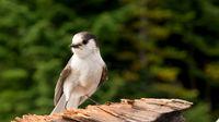 Camp Robber Stellers Jay Clark's Nutcrack Bird Wild Animal Wildlife