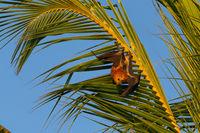Maskarenen-Flughund (Pteropus niger)