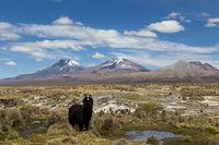 Lama in Sajama National Park