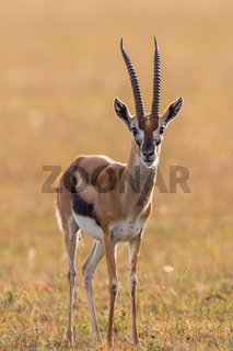 Thomson's gazelle standing on the savannah