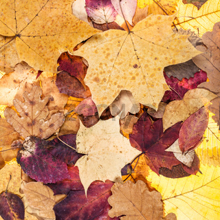 autumn background from many fallen leaves