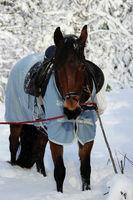 vertical photo of a chestnut horse in a winter forest. in a horsecloth, with a bridle and a saddle