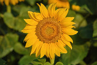 Sunflower on the Green Background