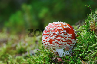 red toxic  fly agaric on growing forest ground ( Amanita muscaria )
