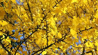 Ginkgobaum im Herbst mit gelben Blättern