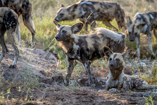 Pack of African wild dogs in the grass.