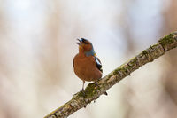 Chaffinch singing from a branch