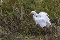 Silberreiher, Ardea alba, European Great White Egret